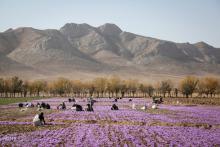 زعفران ایران به کام دیگران